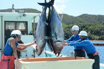 いけすから水揚げされたクロマグロ=鹿児島県・奄美大島で8月28日、深津誠撮影
