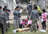 In this May 30, 2016, file photo, wildlife officials begin removing some of the 147 tigers held at a