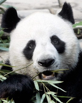 In this April 4, 2007 file photo, a male panda named Chuang Chuang chews bamboo leaves inside its cage at the Chiang Mai zoo in Chiang Mai province, northern Thailand. (AP Photo/Apichart Weerawong)