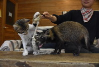 Koshiro the kitten, left, and baby raccoon Hana play together with a rope toy at Shibukawa Animal Park in the Okayama Prefecture city of Tamano on Aug. 31, 2019. (Mainichi/Sayuri Toda)