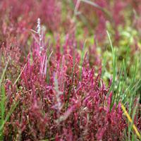 真っ赤に色づき始めたアッケシソウ。形状からサンゴ草の別名をもつ=北海道網走市の能取湖で2019年9月15日、貝塚太一撮影