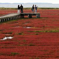 真っ赤に色づいたアッケシソウ=北海道網走市の能取湖で2019年9月15日、貝塚太一撮影