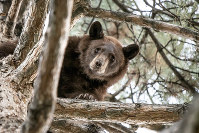 In this photo provided by the Utah Division of Wildlife Resources is a 2-year-old bear in a tree in Orem, Utah, on Sept. 18, 2019. (Steve F. Gray/Utah Division of Wildlife Resources via AP)
