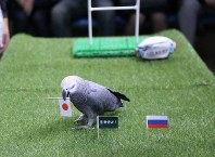 Olivia the gray parrot, which predicted on Sept. 19, 2019 that Japan will beat Russia in the opening game of the Rugby World Cup on Sept. 20, is seen at the Nasu Animal Kingdom in the town of Nasu, Tochigi Prefecture. (Photo courtesy of the Nasu Animal Kingdom)