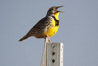 This April 14, 2019 file photo shows a western meadowlark in the Rocky Mountain Arsenal National Wildlife Refuge in Commerce City, Colo. (AP Photo/David Zalubowski)