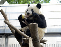 Xiang Xiang the panda chows down on a bamboo shoot in this photo provided by the Ueno Zoological Gardens in Tokyo's Taito Ward.