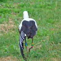 左の翼をだらんと下げて歩くコウノトリ。脚には個体識別のための足環(あしわ)が装着されている=愛媛県提供