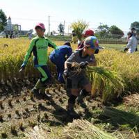 9月中旬、北村小専用の水田で稲刈りに励む5年生