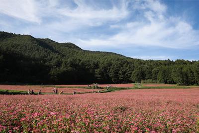 赤ソバの花が見ごろを迎え、ピンク色に染まった丘を歩く人たち=長野県箕輪町で2019年9月25日、佐々木順一撮影
