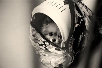 """みとりを拒否した飼い主によりキャリーケースに入れたまま施設に""""捨てられた""""老犬のポメラニアン。その後、ガス室で命を絶たれた=写真はいずれも「老犬たちの涙~""""いのち""""と""""こころ""""を守る14の方法」(KADOKAWA刊)より"""