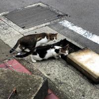 川に落ちたとみられる子猫がいる側溝に近づく親とみられる猫たち=長崎市新地町で2019年10月1日午前8時38分、浅野翔太郎撮影