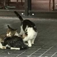 救出後、母猫の乳を吸うずぶぬれの子猫(手前黒っぽい猫)と母猫と見られる猫(左奥)、じゃれつく父とみられる猫(右)=長崎市新地町で2019年10月1日午前8時48分、浅野翔太郎撮影