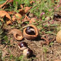 トチの実=C.W.ニコル・アファンの森財団提供