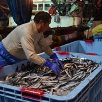 初水揚げされるサンマ。小ぶりだったが、ご祝儀相場で買い取られた=岩手県宮古市魚市場で