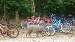 シンガポールの秘境ウビン島をサイクリングすると野生のイノシシに出合える(写真は筆者撮影)