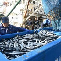 女川漁港に今季初水揚げされたサンマ=宮城県女川町の女川漁港で