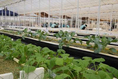 「企業向け貸農園」のビニールハウス=さいたま市岩槻区で2019年9月20日午前11時17分、山田奈緒撮影