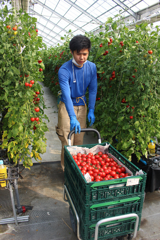 高糖度のトマトを収穫