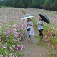 傘を差しながらコスモス畑を散策する女性たち=富山県砺波市五谷源谷のとなみ夢の平スキー場で2019年10月8日、青山郁子撮影