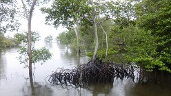 マングローブの生い茂るスンゲイブロウ沼地保全地区(写真は筆者撮影)
