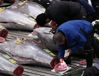 Fish brokers are seen checking the quality of tuna before they go up for auction at the Toyosu Market in Tokyo's Koto Ward on Oct. 11, 2019. (Mainichi/Shinnosuke Kyan)