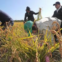 実証栽培田で稲を刈り取る人たち=福島県大熊町で2019年10月10日午前10時5分、和田大典撮影