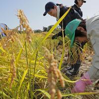 実証栽培の田んぼで稲を刈り取る人たち=福島県大熊町で2019年10月10日午前10時5分、和田大典撮影