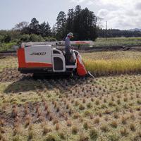 実証栽培の田んぼで稲を刈り取る人たち=福島県大熊町で2019年10月10日午前11時47分、和田大典撮影