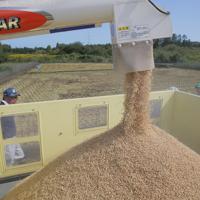 実証栽培の田んぼで実り、収穫された米=福島県大熊町で2019年10月10日午前11時54分、和田大典撮影