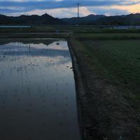 実証栽培の田んぼに植えられた苗=福島県大熊町で2019年5月13日、和田大典撮影
