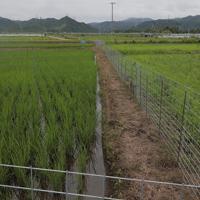 実証栽培の田んぼで育つ稲=福島県大熊町で2019年7月9日、和田大典撮影