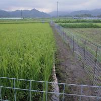 実証栽培の田んぼで育つ稲=福島県大熊町で2019年8月19日午後5時39分、和田大典撮影