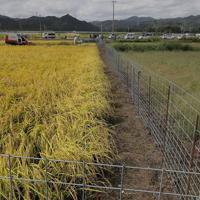 実証栽培の田んぼで実った稲穂=福島県大熊町で2019年10月10日午前10時23分、和田大典撮影