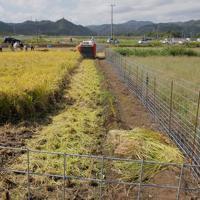実証栽培の田んぼで刈られる稲穂=福島県大熊町で2019年10月10日午前11時27分、和田大典撮影