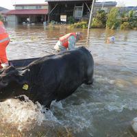 吉田川の氾濫で浸水した牛舎に取り残された牛を一頭ずつ船で引っ張って岸にあげる人たち=宮城県大郷町粕川で2019年10月13日午後4時13分、和田大典撮影