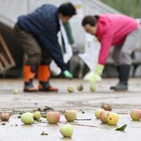台風による強風で木から落ちたリンゴを拾う人たち=長野市で2019年10月14日午前8時42分、佐々木順一撮影