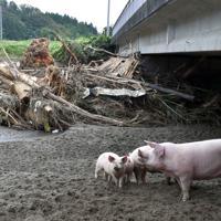近くの養豚場から逃げ出したとみられる豚が、土砂が大量にたまった川の橋下にいた=宮城県丸森町で2019年10月14日午後0時33分、平川義之撮影