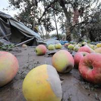 千曲川の氾濫で流され、地面に落ちたままのリンゴ=長野市で2019年10月15日、宮武祐希撮影
