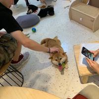 客に囲まれ大人気の柴犬(しばいぬ)=北京市朝陽区の柴犬カフェで9月20日、浦松丈二撮影