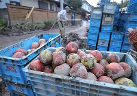 Apples covered with mud due to the flooding of the Chikuma River caused by Typhoon Hagibis are seen in boxes for disposal in the central Japan city of Nagano on Oct. 15, 2019. (Mainichi/Yuki Miyatake)