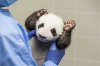 In this photo provided by the Berlin Zoo on Oct. 18, 2019, a person holds one of the zoo's panda twins at the zoo in Berlin. (Zoo Berlin via AP)