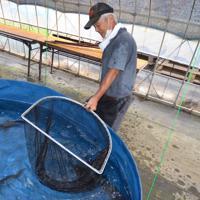 農業生産法人「デリーターファーム」で養殖されているチョウザメ=神奈川県三浦市内で