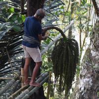 サトウヤシの花柄の根元を竹でたたくランダ・ブンゲさん=インドネシア中部スラウェシ島の北トラジャ県で2019年9月20日、武内彩撮影