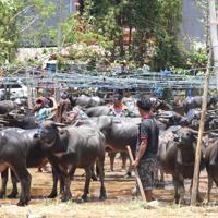 トラジャ族の生活や風習に欠かせない水牛を競る市場=インドネシア中部スラウェシ島の北トラジャ県で2019年9月21日、武内彩撮影