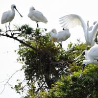 ダイサギに割り込まれ羽を休めていた樹上を追われるクロツラヘラサギ=福岡市西区で2019年10月28日、須賀川理撮影