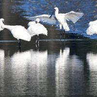 今津干潟で羽を休めるクロツラヘラサギ=福岡市西区で2019年10月28日、須賀川理撮影