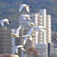 今津干潟の上を飛ぶクロツラヘラサギ=福岡市西区で2019年10月28日、須賀川理撮影