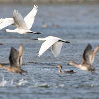 和白干潟に飛来しているクロツラヘラサギ=福岡市東区で2019年10月26日、須賀川理撮影