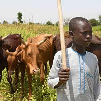 牛を放牧させる国内避難民のアブドゥラ・ムハンマドさん(13)。2013年にボコ・ハラムの襲撃に遭い、飼っていた200頭の牛を奪われた。マイドゥグリに避難後、近隣の人から牛と山羊を借りて放牧、採れた乳を売って生計を立てているが、餌となる草が少なく牛は痩せて乳があまり出ない。仕事に追われて教育を受けられず、貧困から抜け出せない=マイドゥグリで2019年9月28日、山崎一輝撮影