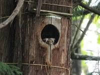 アファンの森のフクロウの巣箱に最近すみ着いたムササビ=C・W・ニコル・アファンの森財団提供